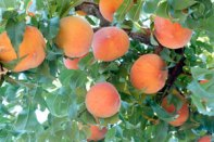 elberta_peach_tree-image2